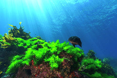 Sunrays Shine On Kelp And A Damselfish Print by James White