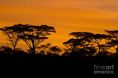 Photograph - Sunrise Acacias  by Chris Scroggins