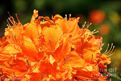 Photograph - Sunrise Azalea by Susan Herber