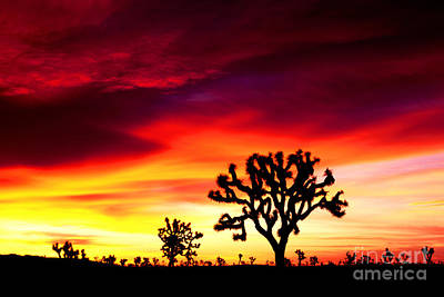 Sunrise In Joshua Tree Nat'l Park Art Print