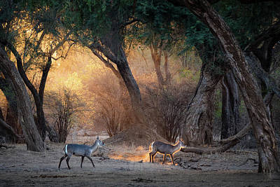 Zimbabwe Photograph - Sunrise In The Forest by Giovanni Casini