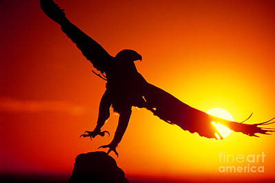 Photograph - Sunrise Liftoff Golden Eagle Threatened Species by Dave Welling