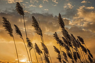 Photograph - Sunrise Reeds by Chris Bordeleau