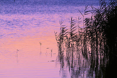 Photograph - Sunrise Reeds by Pete Federico