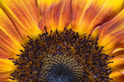 Sun Flower Photograph - Sunrise Sunflower by Scott Campbell