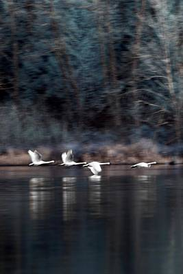 Photograph - Sunrise Swans by Rebecca Parker