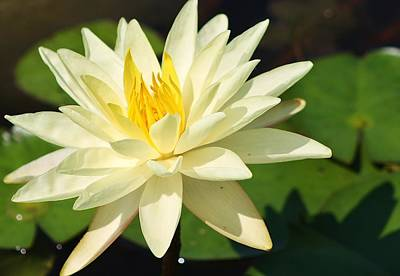 Photograph - Sunrise Water Lily by Bruce Bley
