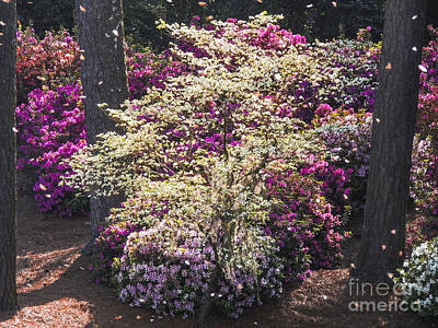 Digital Art - Augusta's Azalea Along The Thirteenth  by L J Oakes