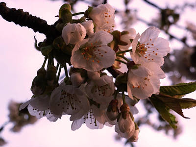 Photograph - Sunset Cherry Blossoms by Christine Burdine