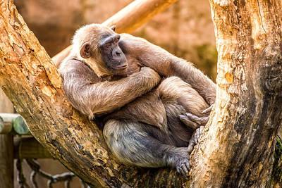 Humanlike Photograph - Sunset Chimpanzee by Pati Photography