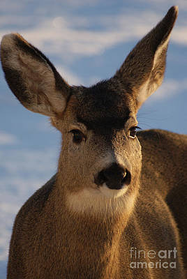 Photograph - Sunset Doe by Stanza Widen