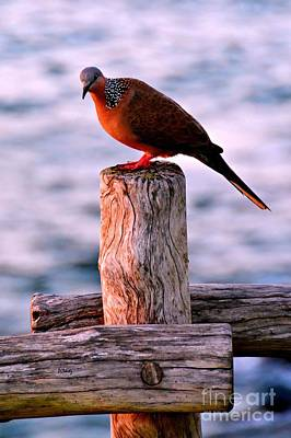 Photograph - Sunset Dove by Patrick Witz
