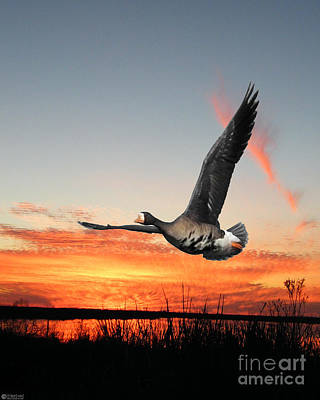 Digital Art - Sunset Flight Snow Goose Lacassine Nwr by Lizi Beard-Ward