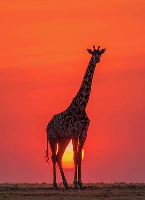 Photograph - Sunset Giraffe by Henry Zhao