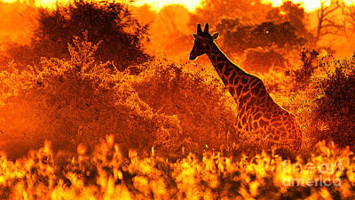 Photograph - Sunset Giraffe by Mareko Marciniak