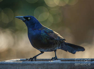 Sunset Grackle Art Print by Jim Moore