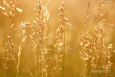 Photograph - Sunset Grasses by Lincoln Rogers