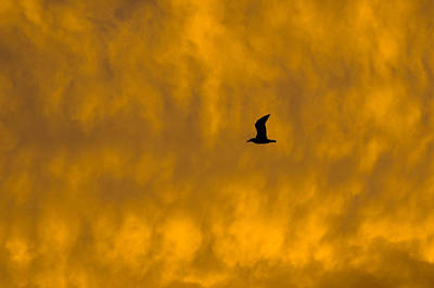 Photograph - Sunset Gull by Amy Porter