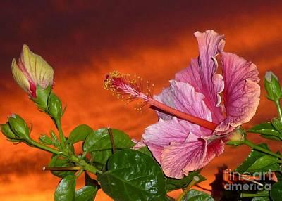 Photograph - Sunset Hibiscus by Barbie Corbett-Newmin