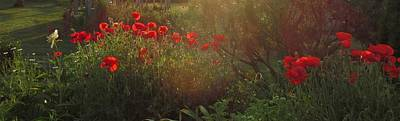 Sunset In The Poppy Garden Art Print by Mary Wolf