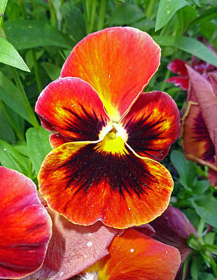 Yellow Photograph - Sunset Pansy by Robert Meyers-Lussier