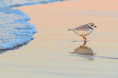 Sunset Piping Plover Art Print by Bill Wakeley