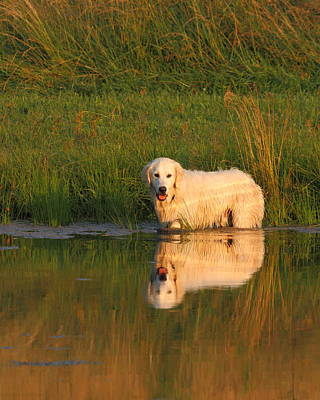 Photograph - Sunset Retriever by Coby Cooper