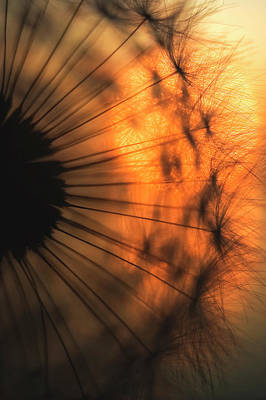 Dandelion Photograph - Sunset by Ricky Siegers