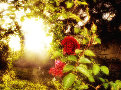 Photograph - Sunset Rose by Kristie  Bonnewell