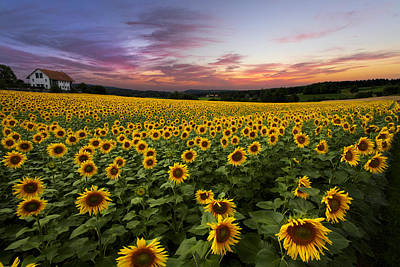 Country Cottage Photograph - Sunset Sunflowers by Debra and Dave Vanderlaan