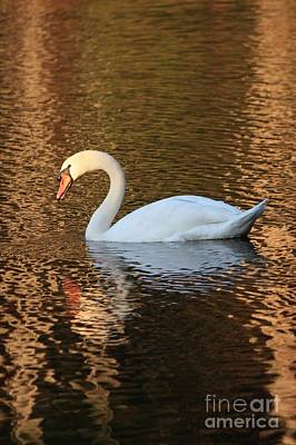 Photograph - Sunset Swan by Carol Groenen