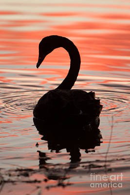 Sunset Swan Art Print