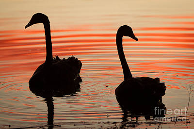 Sunset Swans Art Print