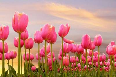 Photograph - Sunset Tulips by David Rich