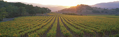 Sunset, Vineyard, Napa Valley Art Print
