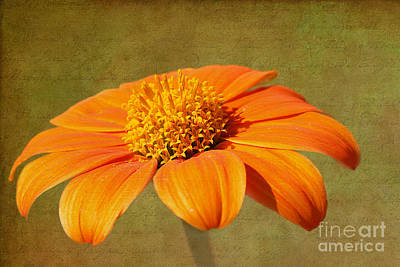 Photograph - Sunshine Bloom by Lisa Cockrell