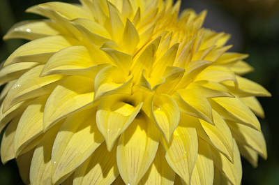 Photograph - Sunshine Dahlia by Tikvah's Hope