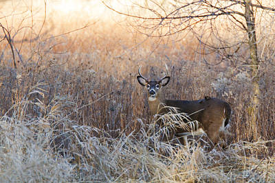 Sunshine Deer Art Print by Mircea Costina Photography