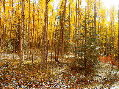 Photograph - Sunshine In The Birch Trees by Adam Owen