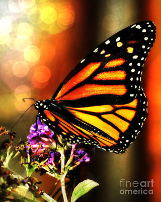 Photograph - Sunshine Monarch  by Mindy Bench