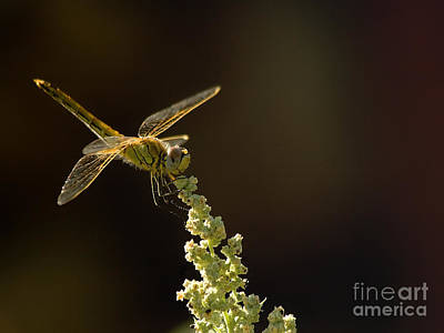 Sunshine On A Landed Dragonfly. Art Print by Leyla Ismet