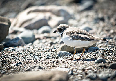 Photograph - Sunshine On The Shorebird by Cheryl Baxter