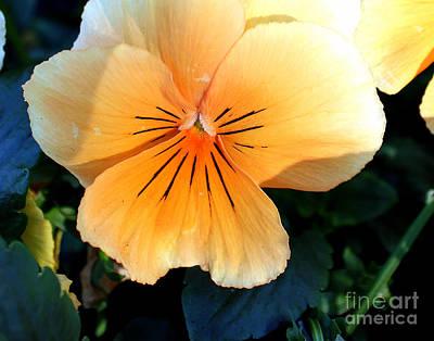 Photograph - Sunshine Yellow Pansy by Arizona  Lowe