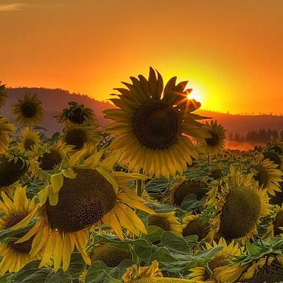 Sunflowers Wall Art - Photograph - Sunst And Sunfloers  #sunset by Mark Kiver