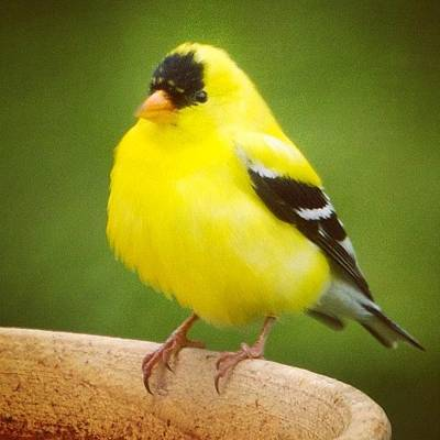 Animals Photograph - Super Fluffed Up Goldfinch by Heidi Hermes
