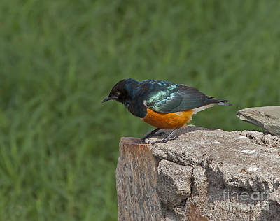 Superb Starling   #0887 Original by J L Woody Wooden