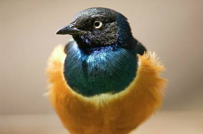 Starlings Wall Art - Photograph - Superb Starling by Dr P. Marazzi/science Photo Library