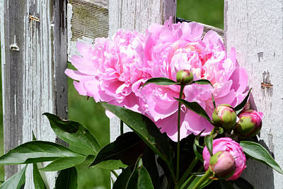 Photograph - Supporting Peony by Kim Hymes