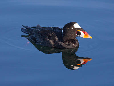 Photograph - Surf Scoter by Melinda Fawver