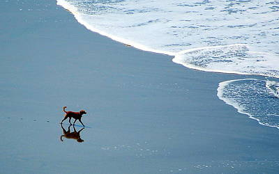 Print featuring the photograph Surfer Dog by AJ  Schibig